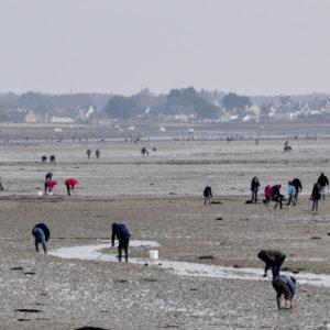 Pêche à pied dans la petite mer de Gâvres